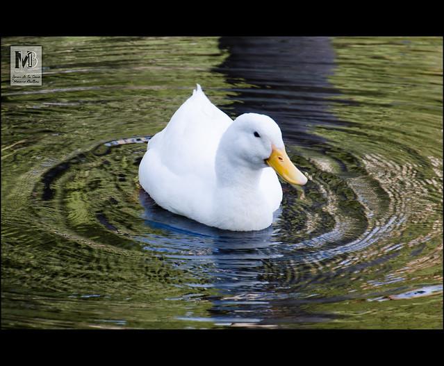 Pato faldero