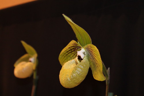 Taida Little Green orchid