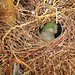 Oiseaux - Psittaciformes
