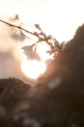 sunset japan pentax 大阪 桜 sakura osaka k3 万博記念公園 expocommemorationpark 大阪府 flickrhongkong flickrhkma さくらの名所100選