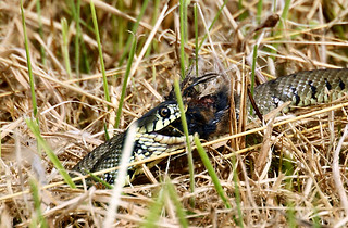 Grass Snake Came up the bank towards the hide at Restharrow Scrape with a young Little Grebe Chick in it's mouth   by duncanmclean372