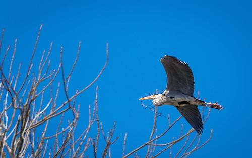 064/365: Grey Heron   by haslo