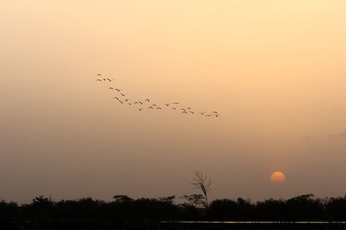 sunset nature birds wildlife caribbean egret westindies trinidadandtobago birdflight