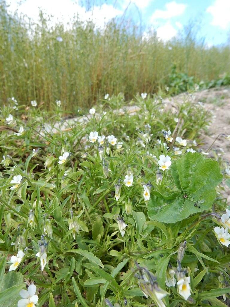 Wild pansies Cuxton to Halling