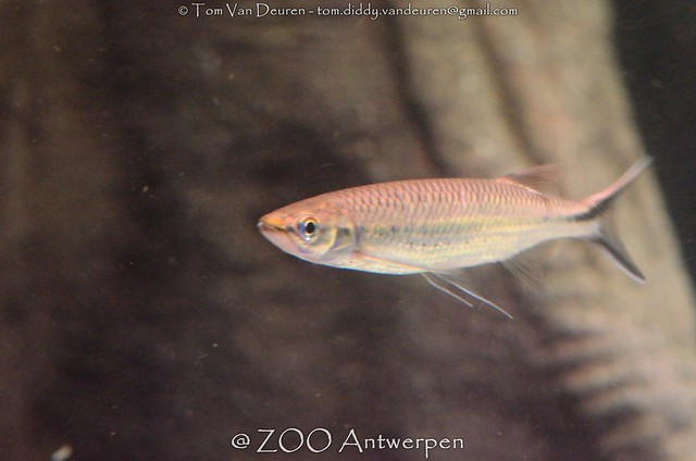 zijvlek snoekbarbeel - Luciosoma spilopleura - Apollo sharkminnow