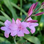 Pink Italian Gladiolus (Field Gladiolus, or Common Sword-Lily (Gladiolus italicus))