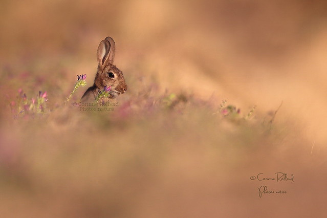 Lapin de garenne ( Oryctolagus cuniculus ) - Wild rabbit #1254