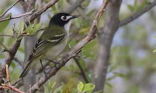 Black-capped Vireo | by IsaacCSanchez