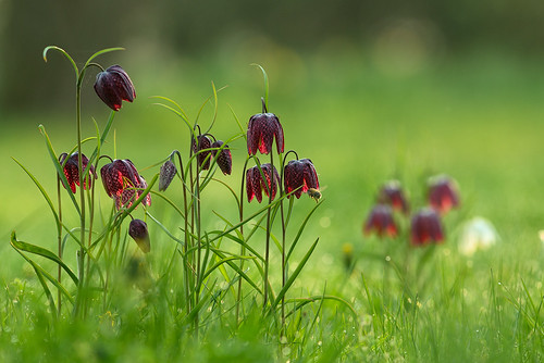 5 Jahre vor - Schachbrettblume (translated Word by Word chess Game/board flower) in the UK known as Shake s Head fritilaries succesful established in my wild Garden.   K98A3577_kl2