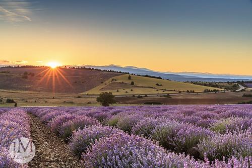 sunshine provence lavande