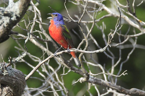 Painted Bunting | by randystrees