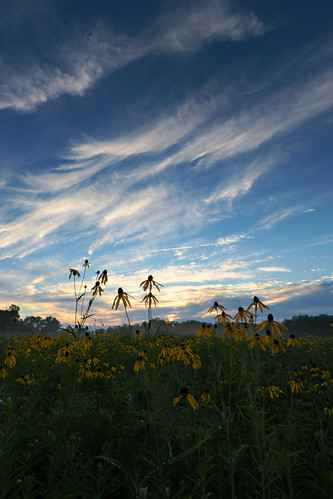 mist wet sunrise illinois prairie cookcountyforestpreserves dolomiteprairie greyheadedconeflower hodgkinsillinois theodorestonepreseve dpphdrtool