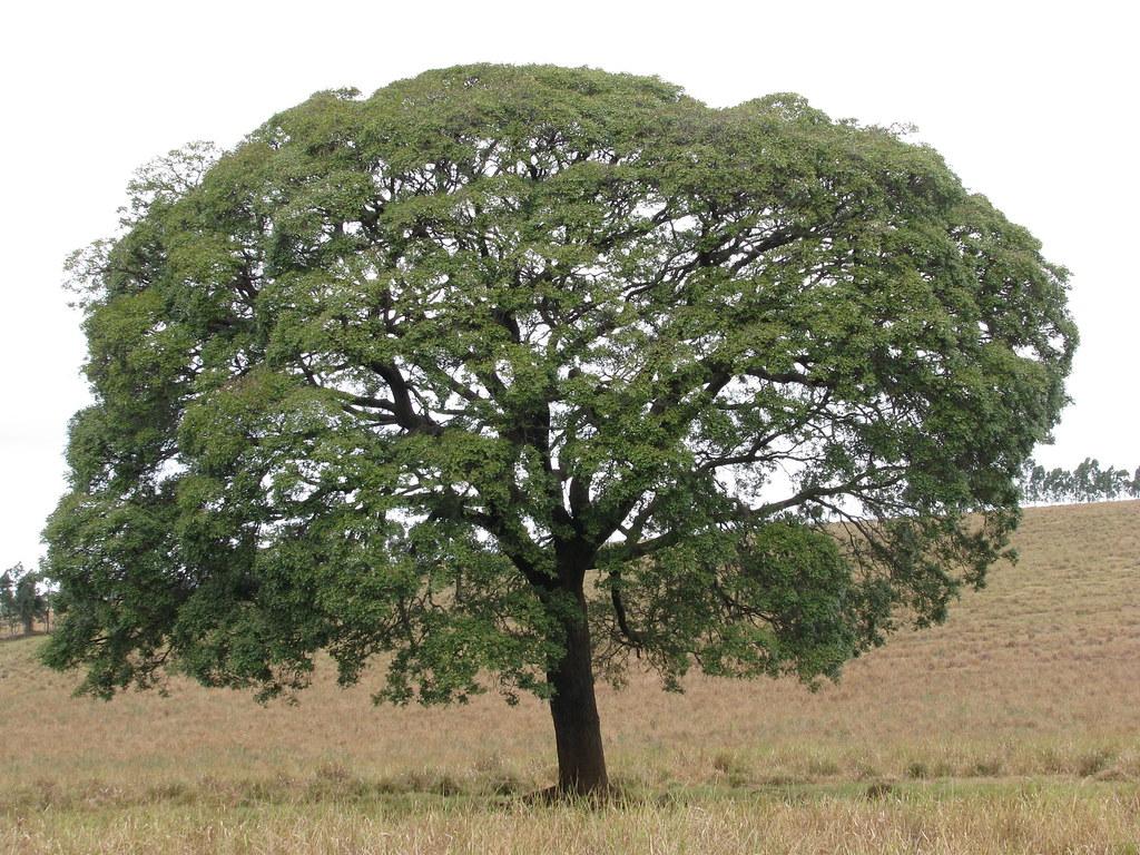Copaifera langsdorffii 20110723_111203