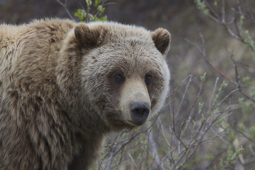 "Grizzly Bear (Ursus arctos ssp.) | by Gregory ""Slobirdr"" Smith"