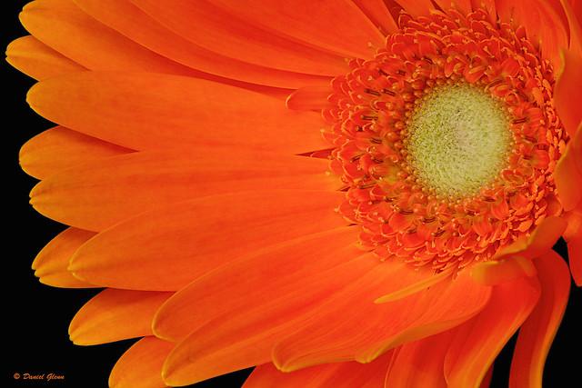Gerbia daisy