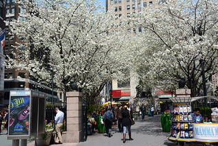 Picture Of Herald Square Park On Broadway & Avenue Of The Americas Between West 34th Street And West 35th Street  In New York City. Notice The White Cherry Blossom Trees Are In Bloom. Picture Taken Monday April 21, 2015