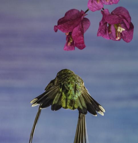 calypteanna hummingbird hummer fleur flor aerialmaneuver annashummingbird poway paintedbackdrop offcameraflash flowers flores avianphotography nature naturephotography yn560iii yn560 yn560ii yongnuorf603n manualmode bif birdinflight feeding sharp detail clarity bougainvillea