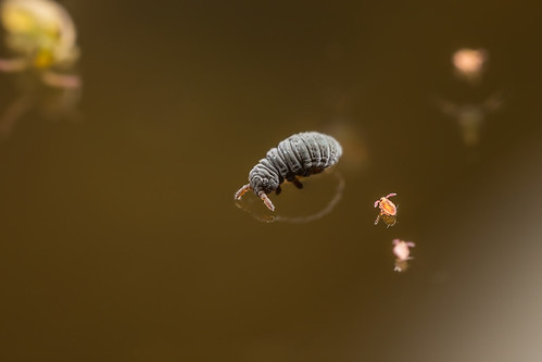 Podura aquatica & Sminthurides malmgreni | by AndyLandgraf Makrofotografie