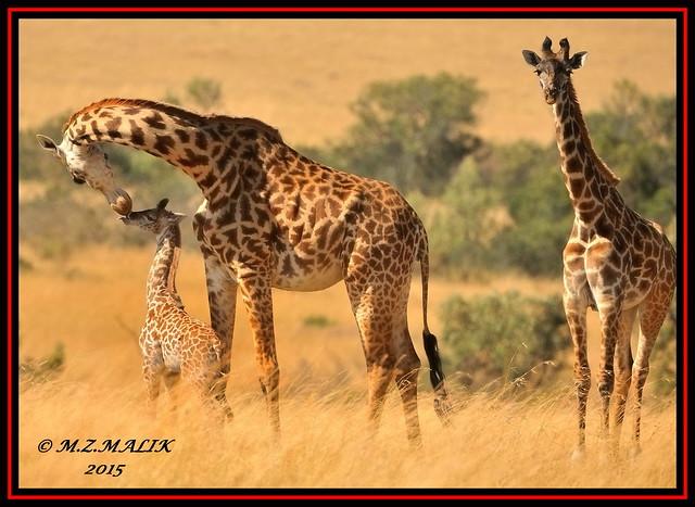 GROUP OF MASAI GIRAFFES (Giraffa camelopardalis tippelskirchii)...MASAI MARA......SEPT 2015