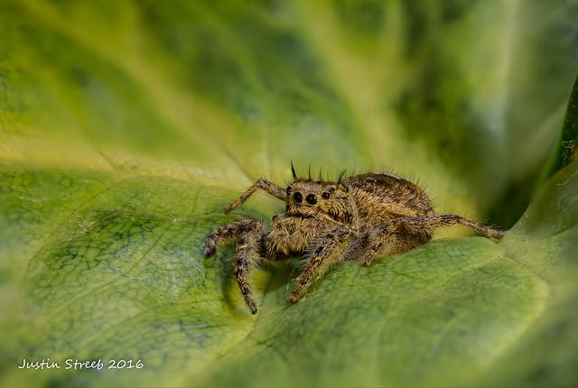 Jumping Spider & Leaf