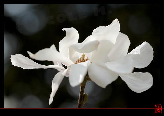 Magnolia stellata....