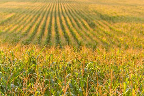 summer field corn row québec été champ 2014 rang mirabel maïs