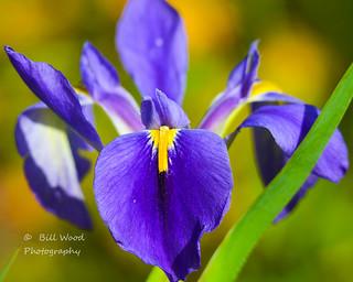 native louisiana iris-1927