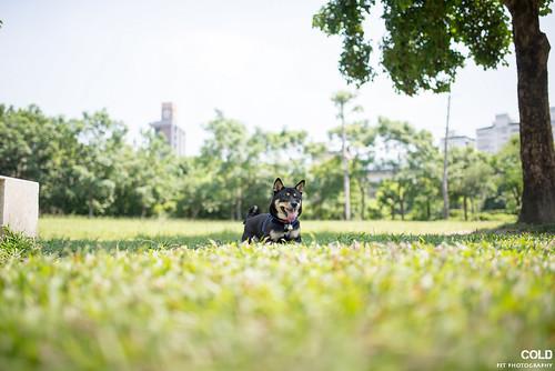 [台北 寵物攝影] 柴犬NINI 秋田娃娃 | by cold0328