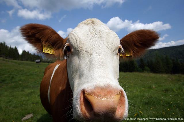 Kuh auf der Galgenhütte