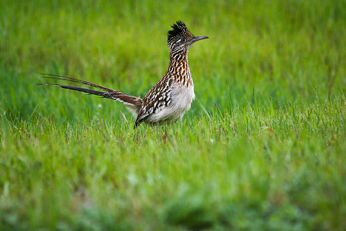 texas wildlife roadrunner