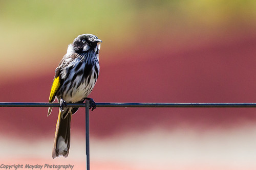 New Holland Honeyeater on Fence | by Graham Mahoney