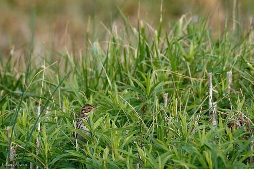 bird nature animal spring unitedstates charlotte wildlife northcarolina davidson savannahsparrow mecklenburgcounty westbranchnaturepreserve