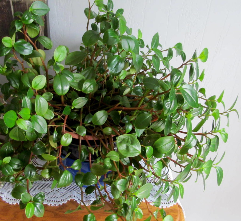 Radiator Plant Peperomia It Is A Houseplant In A Fr Flickr