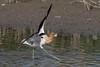 2 point landing for an american avocet by Ron Winkler nature