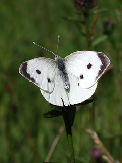 White Butterfly | by Paul Stevenson