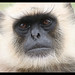 Face of the Black Face Monkey by Clownfish1