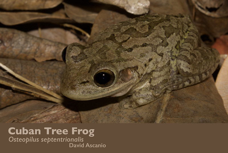 Cuban Tree Frog, Osteopilus septentrionalis_199A4096