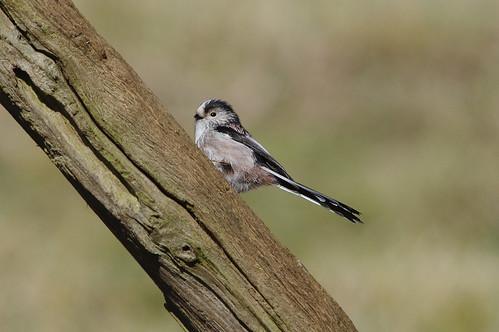 sandy rspb wild bird nature wildlife longtailedtit aegithaloscaudatus