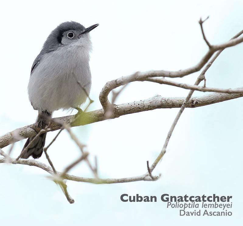 Cuban Gnatcatcher, Polioptila lembeyei_199A0748