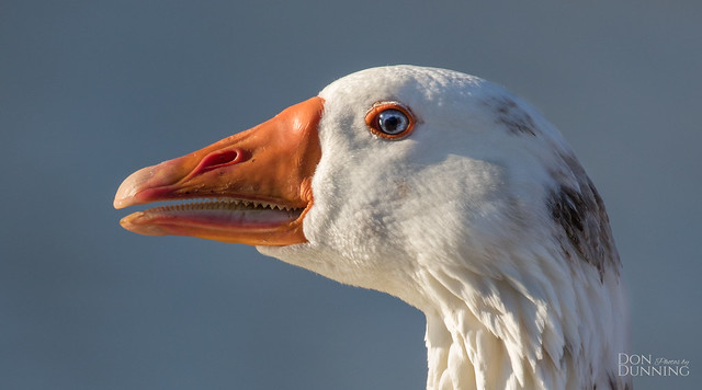 Domestic Goose  Cross-breed (Anser anser domesticus)