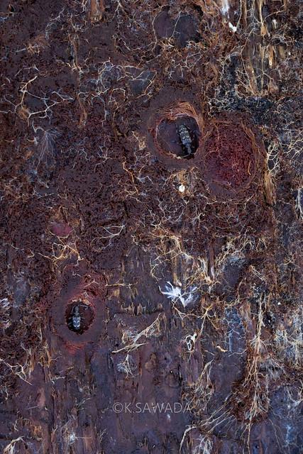 Rhagium (Rhagium) femorale N.Ohbayashi,1994