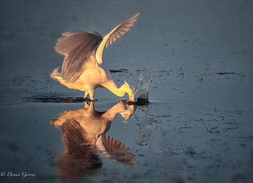 merrittisland action background bird egret florida sunrise water wildlife unitedstates us