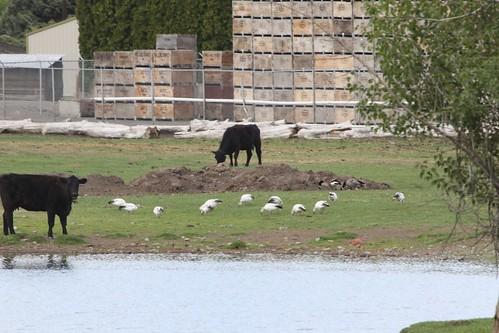 kevinlucas yakimacountywashingtonus ansercaerulescens snowgoose cowpond hosthamburgersonthehoof uncommon sawyerwashington canadagoose cow fruitbin shed fence dirt