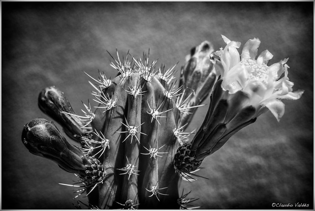 - The first cactus flower of spring -