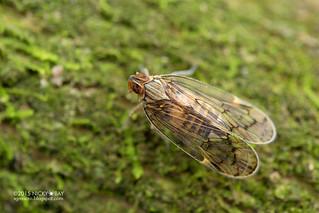 Planthopper (cf. Kinnaridae) - DSC_6147