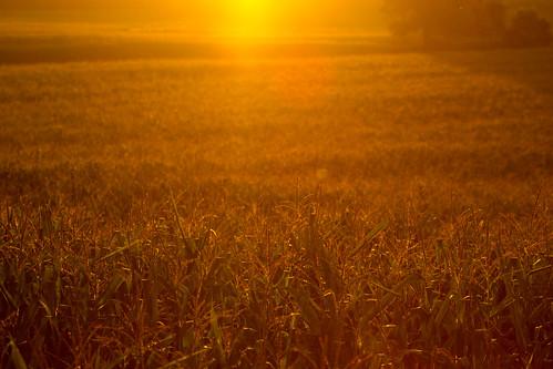 summer sun field soleil corn québec été champ 2014 mirabel maïs blédinde