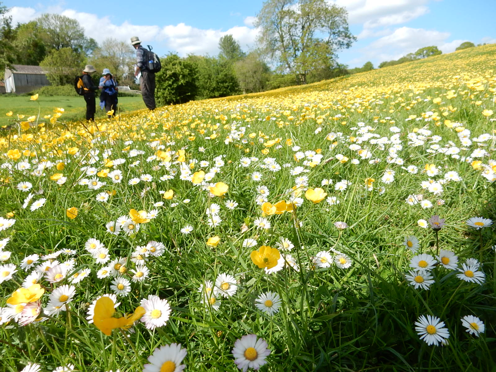 Buttercups and daisies Sutton Valence to Pluckley