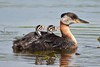 Red necked grebes - Podiceps grisegena by audrey.hollasch
