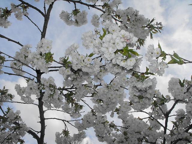 Flowering Cherry Glory in Luton, 2015