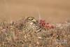 Burhinus oedicnemus, Alcaravão, Eurasian Thick-Knee, Alcaraván Común by Godinho Birds & Nature Fotos